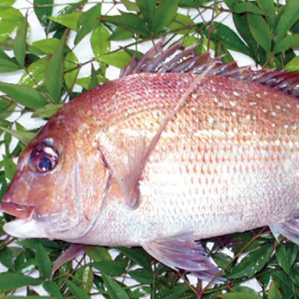 写真:加太の一本釣り真鯛