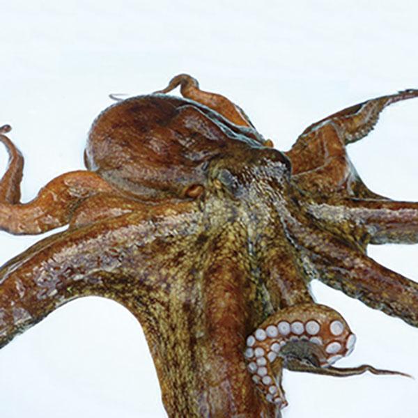 写真:加太の真蛸